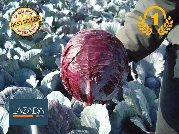 เมล็ดพันธุ์นำเข้า : กะหล่ำปลีแดง (Red Cabbage) Brassica oleraceae var. rubra