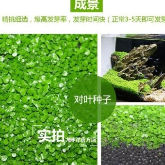 4G Aquarium Mini Double Leaf Similar Foreground Landscaping Plants Seed Fish Tank Decor #2 - intl