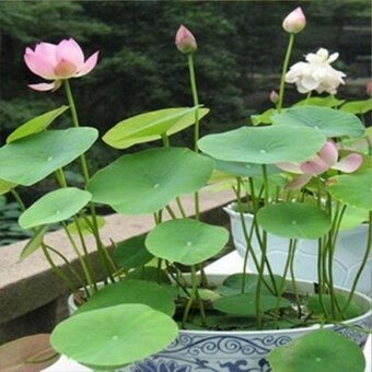 Pet 20pcs Lotus Bowl Water Lily 11varieties Flower Seeds NymphaeaPond Balcony - intl